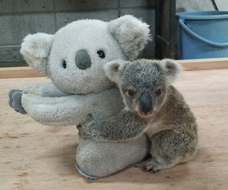コアラの赤ちゃんとぬいぐるみ