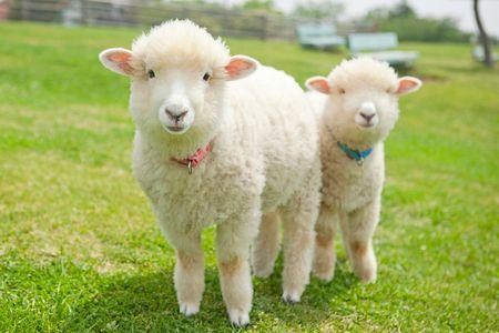 「羊 子供」の画像検索結果
